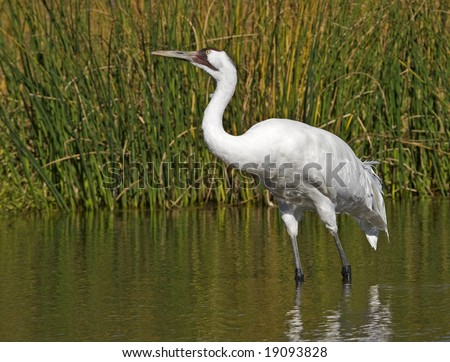 Whooping Crane wading and feeding in a marsh.