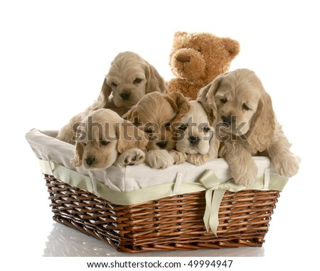 wicker basket filled with a litter of american cocker spaniel puppies with reflection on white background - stock photo