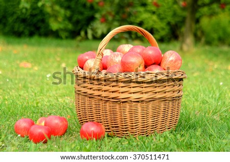 Wicker basket full of red apples in foreground and apple trees in background - stock photo