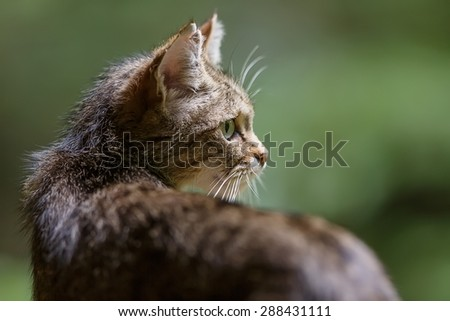 widcat portrait very close up - stock photo