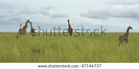 wide african grassland scenery with some Rothschild Giraffes in Uganda (Africa) - stock photo