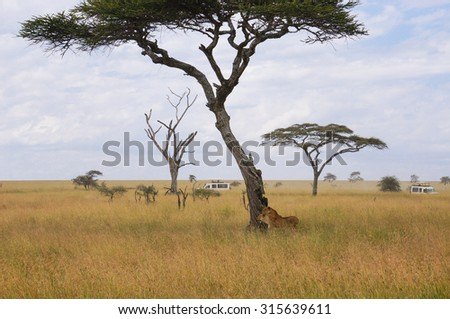 wide african grasslands animal reserve, visitors to tour the car to two lions photography - stock photo