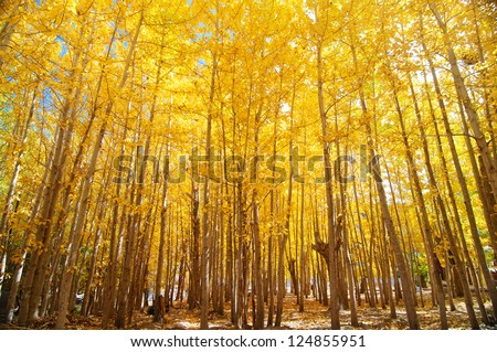 Wide angle fall Aspen Trees , Leh District in the state of Jammu and Kashmir, India. - stock photo