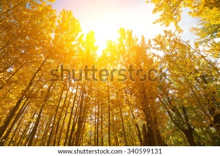 Wide angle fall Aspen Trees with golden sunlight, Leh District in the state of Jammu and Kashmir, India. - stock photo