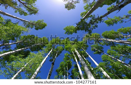 wide angle image looking up in an aspen grove to the aspen tree tops with green leaves and blue sky - stock photo