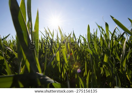 wide angle image of grass from low angle and bright blue sky with shining sun for background - stock photo