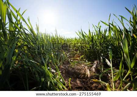 wide angle image of green grass under blue sky. Beauty nature background - stock photo