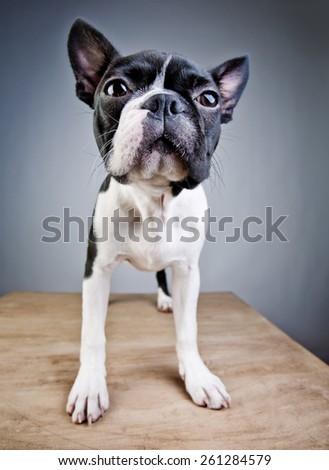 Wide Angle Lens Boston Terrier Studio Portrait - stock photo