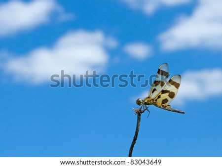 Wide-angle photograph of a halloween pennant dragonfly perched at the top of a dead wildflower head in a midwestern grassland with beautiful blue sky and clouds in the background. - stock photo