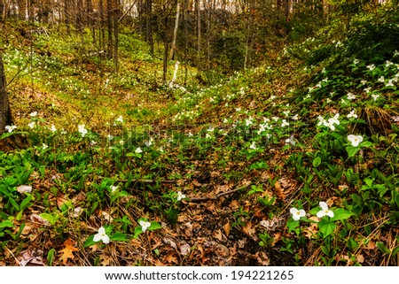 Wide angle photography of White Trilliums growing in a valley.  Trillium grandiflorum is the official emblem of the Province of Ontario and the State Wildflower of Ohio.  - stock photo