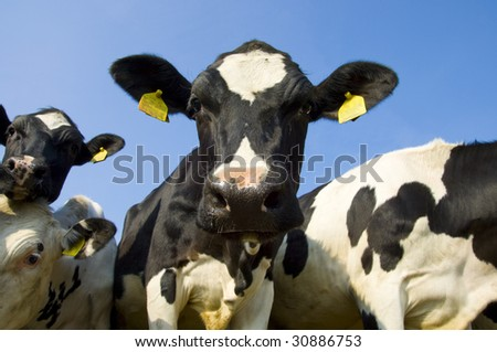 wide angle shoot of some cows on a meadow against the blue sky in spring - stock photo
