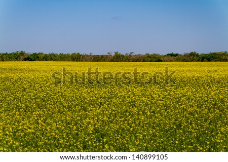 Wide Angle Shot of a Field of Beautiful Bright Yellow Flowering Canola (Rapeseed) Plants Growing on a Farm in Oklahoma with Blue Skies. - stock photo