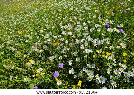 Wide angle shot of a field of wildflowers - white oxeye daisies, blue field scabious and yellow field scabious