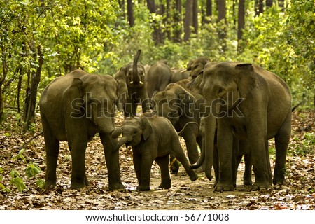 Wide angle shot of an aggressive elephant herd in a forest track - stock photo