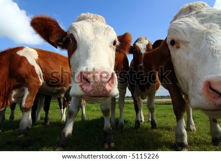 wide-angle shot of cows - stock photo