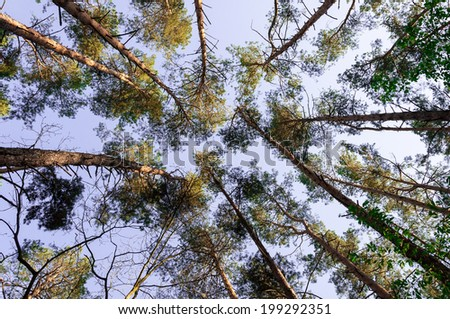 Wide angle up photography of pine forest - stock photo