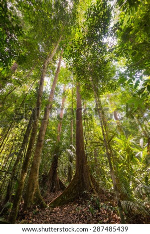 Wide angle view from below of the majestic tall trees with lush green canopy of the dense rainforest in Lambir Hills National Park, Borneo, Malaysia. Shot in backlight, highlight slightly blown out. - stock photo