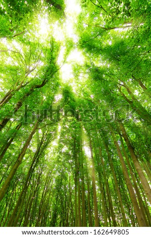 Wide angle view looking up towards the canopy in the forest with the sun shining through in the Netherlands - stock photo