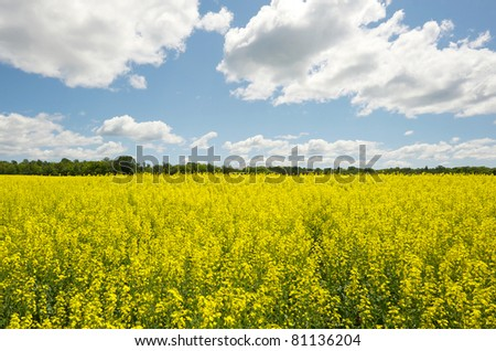 Wide angle view of a beautiful field of bright yellow canola or rapeseed in front of a forest. - stock photo