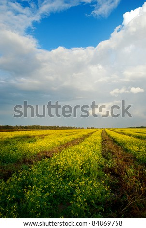 Wide angle view of a beautiful field of bright yellow rapeseed