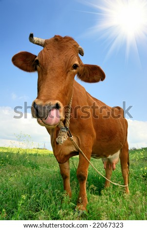 Wide angle view of a cow on a meadow. - stock photo