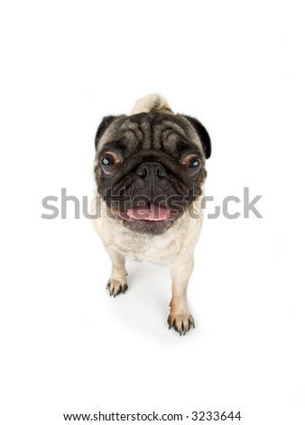 wide angle view of a pug
