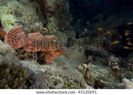 Wide angle view of Bearded scorpionfish (scorpaenopsis barbata). Red Sea, Egypt.