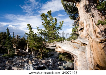 Wide angle view of Bristlecone pine tree in Great Basin National Park, Nevada, USA. - stock photo