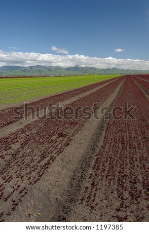 Wide angle view of rows of green and red lettuce. Picture taken on the central coast of California, USA - stock photo