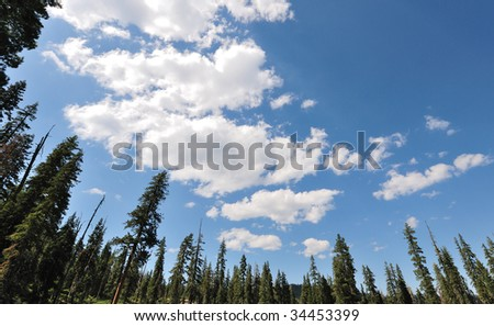 Wide angle view of the sky above a pine forest - stock photo