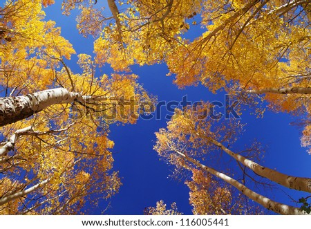 wide angle view up in an aspen grove in the fall with yellow leaves and a blue sky - stock photo