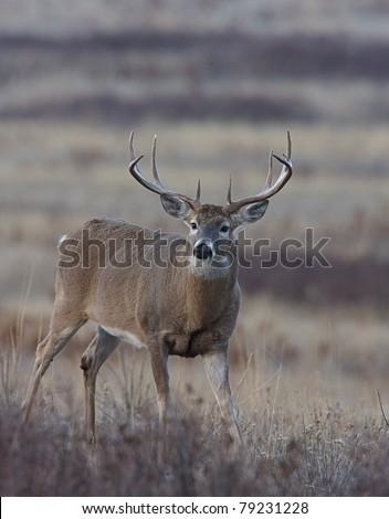 wide-antlered Whitetail Buck Deer in Palouse Prairie grasslands, Montana - stock photo