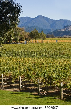 wide autumn view of grape vines and mountain landscape at Cloudy Bay winery in Marlborough, New Zealand. - stock photo