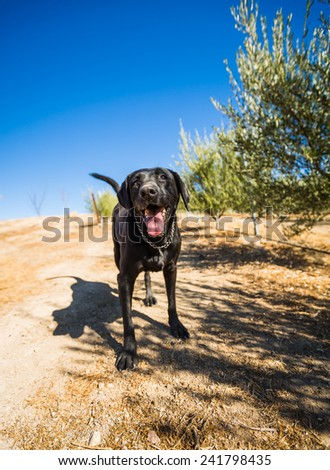 Wide color shot of a black Labrador Retriever with mouth open looking at camera standing in an olive grove in Paso Robles, CA. - stock photo