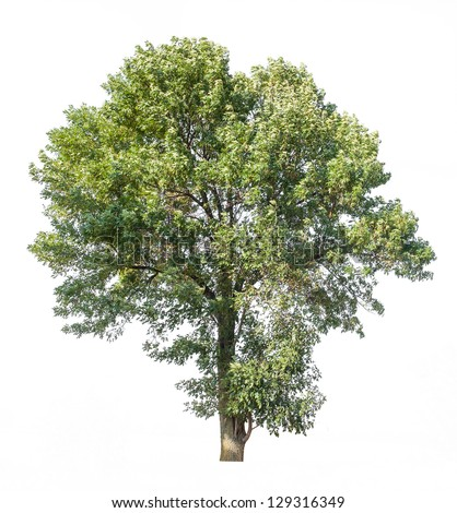 wide leaf green tree isolated on white - stock photo