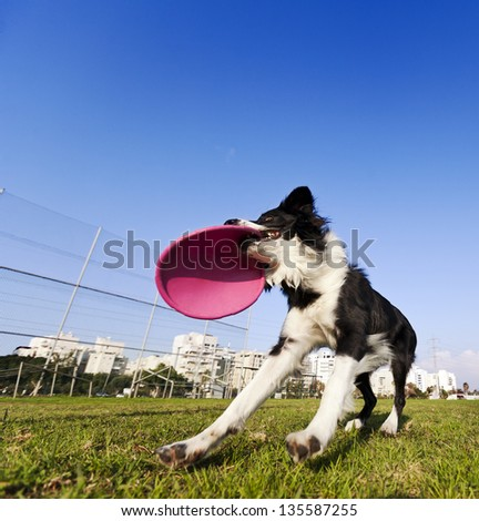 Wide & low angle view of a Border Collie dog caught in the middle of catching a dog frisbee toy with his mouth, on a sunny day at an urban park. - stock photo