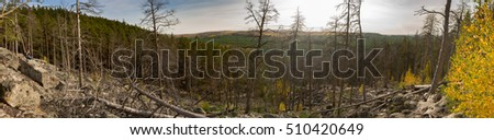 wide panorama of dead pine forest with photographer, autumn, Russia