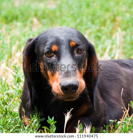 Wiener dog. Black and brown two years old dog dachshund dog in the garden laying in the grass - stock photo