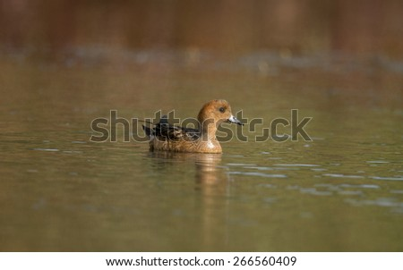 Wigeon ,Anas penelope, floating on a pond
