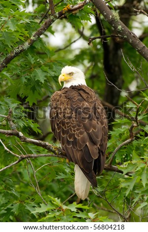 Wild Adult Bald Eagle Perched in Tree (Profile)