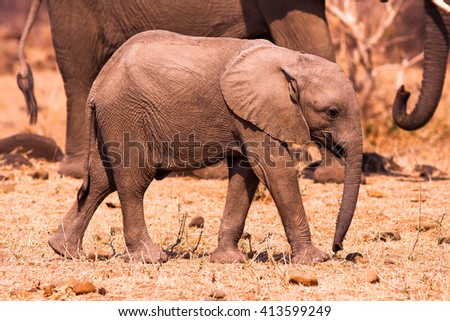 Wild African baby elephant calf with mother - stock photo