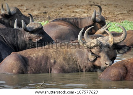 WILD African Buffalo wallow on the shores of the Kazinga Channel in Uganda, Africa - stock photo