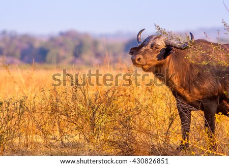 Wild African Buffalo with copy space - stock photo