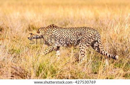 Wild African Cheetah - stock photo