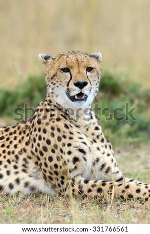 Wild african cheetah, beautiful mammal animal. Africa, Kenya - stock photo