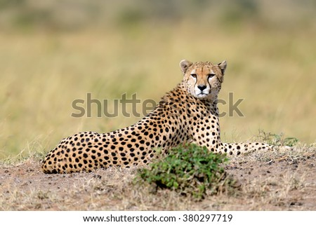 Wild african cheetah in National park of Kenya, Africa - stock photo