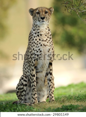 wild african cheetah on savannah . maasai mara, kenya, south africa. magnificient speedy fast powerful big cat predator similar leopard full frame close up - stock photo