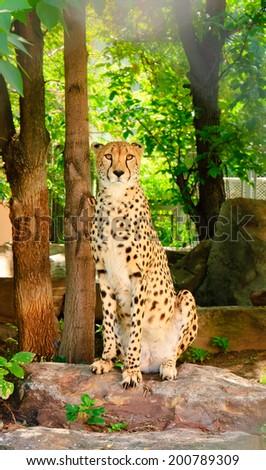 Wild african cheetah portrait, beautiful mammal animal, endangered carnivore - stock photo