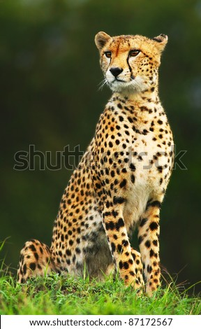 Wild african cheetah portrait, beautiful mammal animal, endangered carnivore, Africa. Kenya. Masai Mara - stock photo