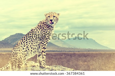 Wild african cheetah. Vintage effect. National park of Kenya, Africa - stock photo